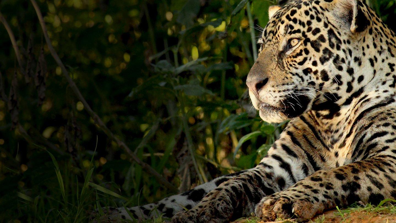 Natural World: Jaguars - Brazil's Super Cats